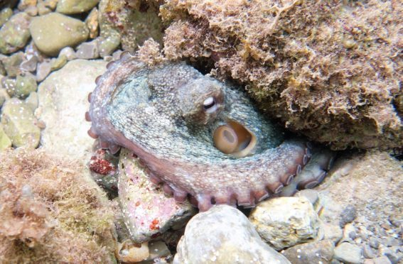 The octopus is a predatory animal, feeding upon molluscs, crustaceans and other marine creatures. It typically lives in a shelter by rocks, from which it can mount hunting trips.