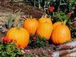 Pumpkins ripening up
