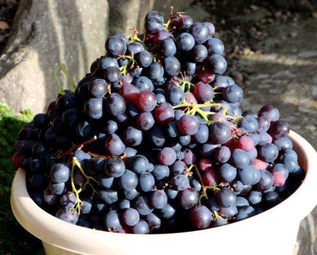 Black hamburg grapes just picked