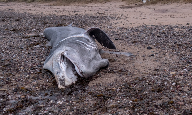 The body of a basking shark found on the shore north of East Haven on November 22 2018.