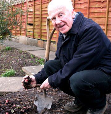Planting rhubarb crowns in winter