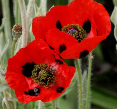 Poppy Ladybird