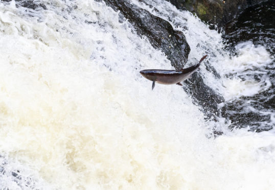 A mighty Atlantic salmon travelling to spawning grounds.