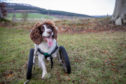 Rescue springer spaniel Ben enjoying his wheels.