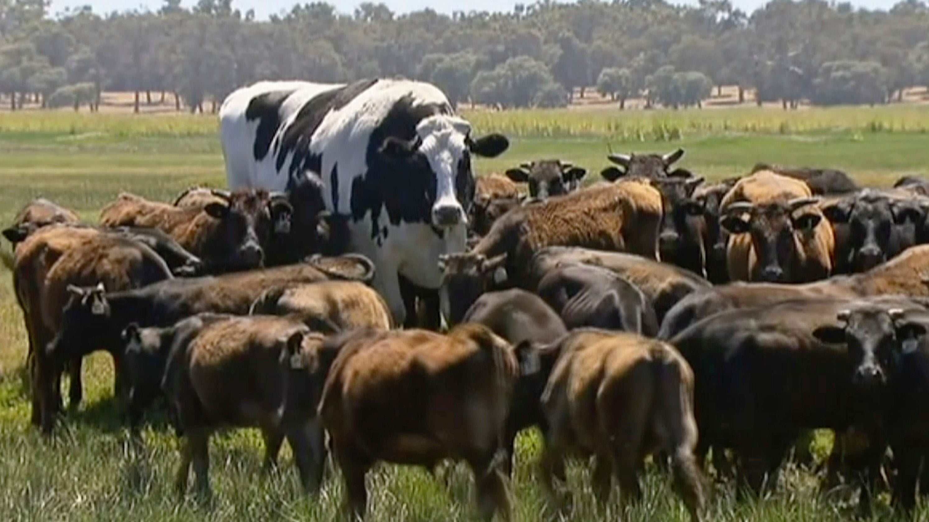 British livestock still have some way to go before they reach the super-size scale of Knickers, the Australian steer.