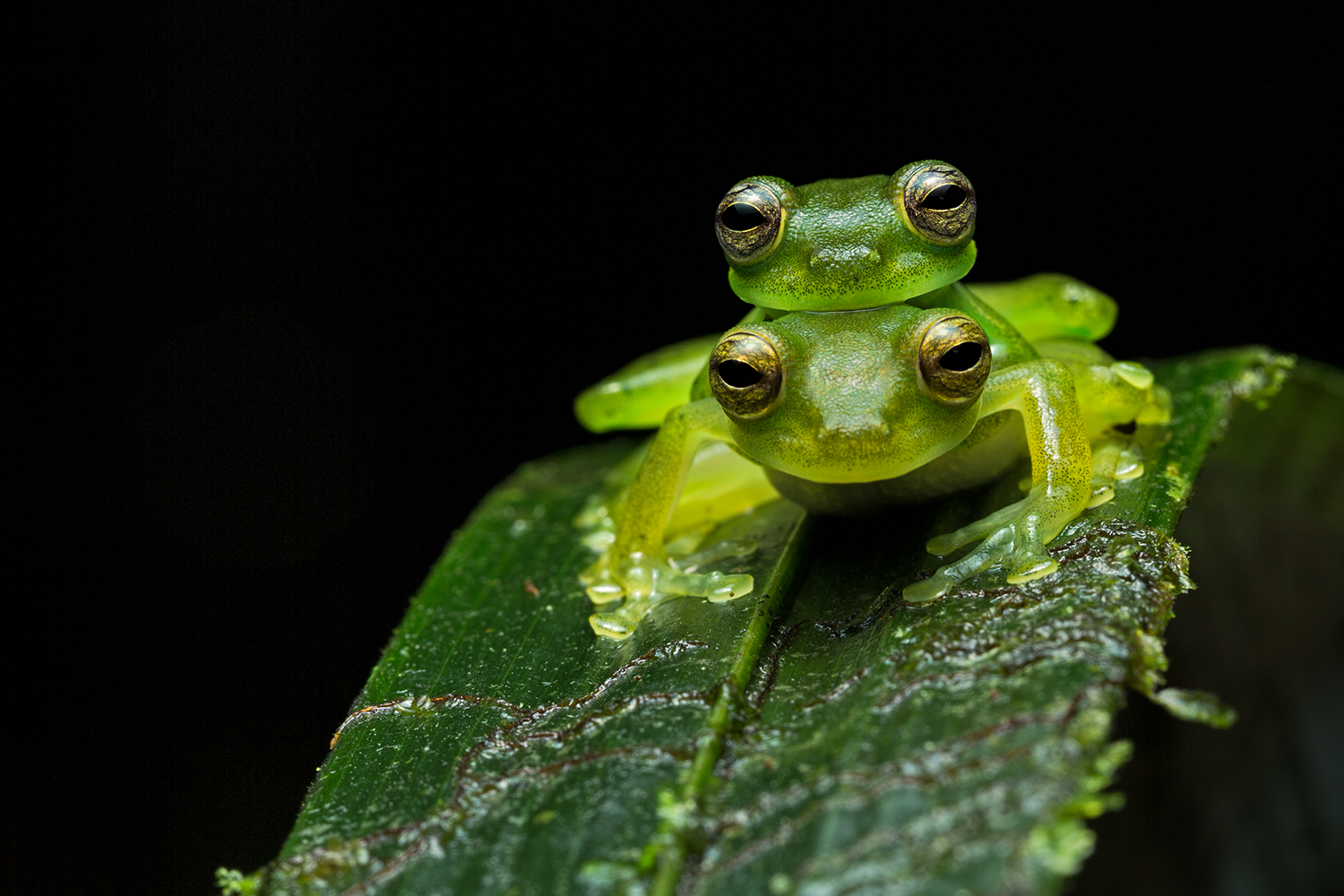 Emerald glass frogs photographed by Moira in South America.