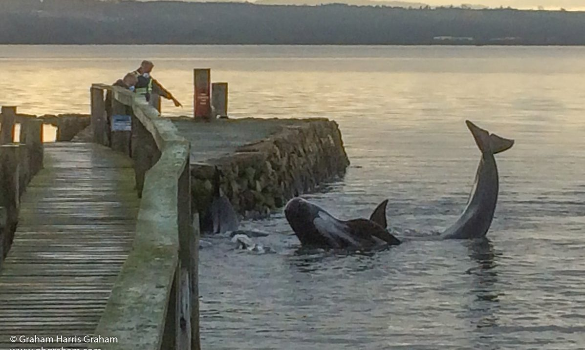 Pod of whales stranded at Culross in 2018.