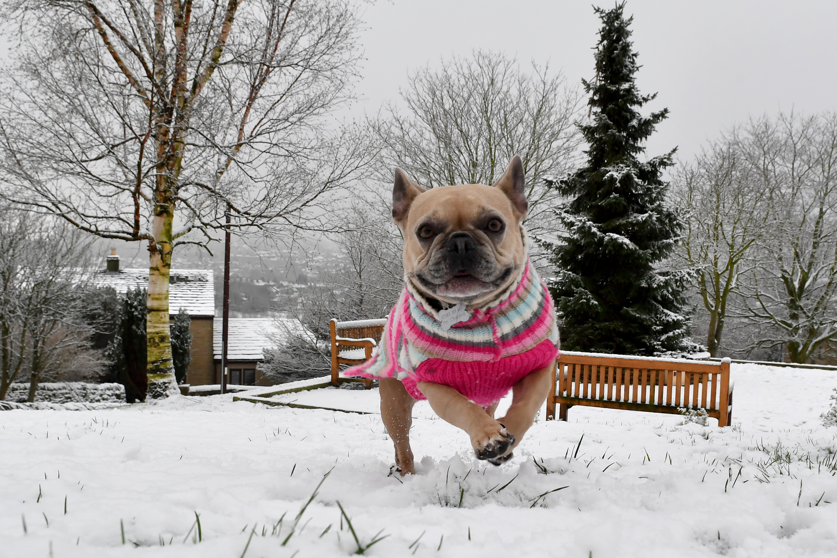 Frenchie the French Bulldog runs in the snow in the village of Tintwistle in the High Peak district in Derbyshire, United Kingdom.