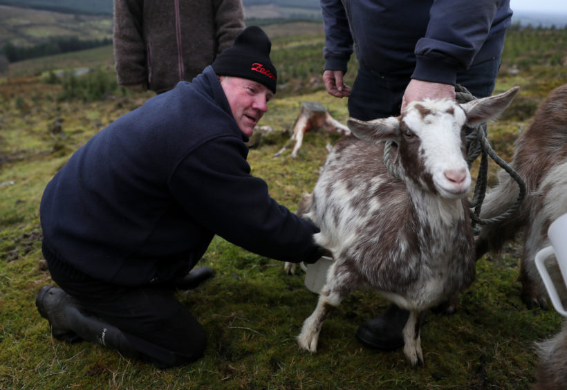 Christy Conroy milks a goat during the 'Milking of the Goat' festival on Spink Hill, Co. Offaly. The festival celebrates Imbolc which marks the beginning of spring and is one of the four Celtic seasonal festivals.