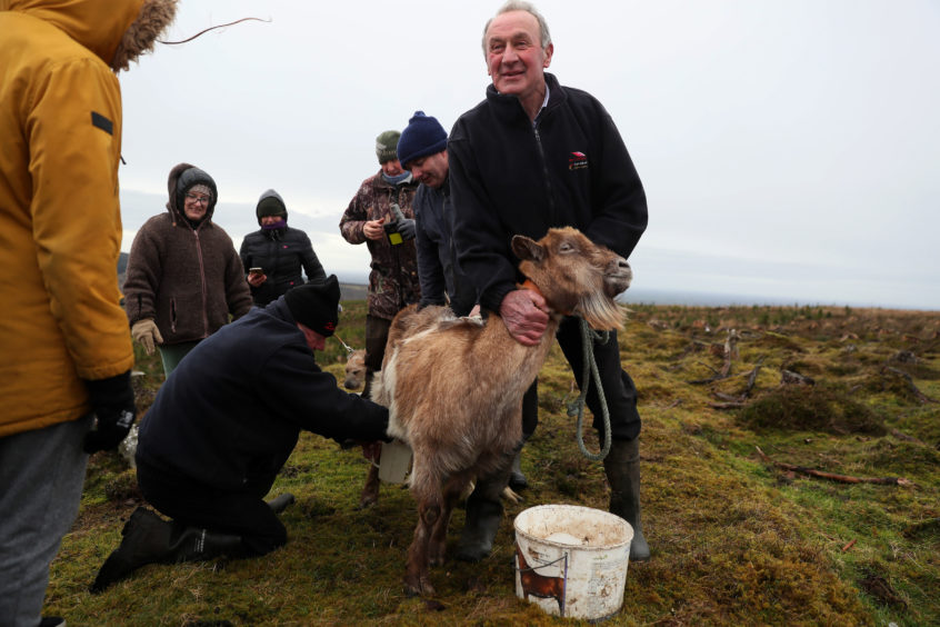John Rigney, chairman of the Slieve Bloom Association, holds a goat as it's milked during the 'Milking of the Goat' festival on Spink Hill, Co. Offaly. The festival celebrates Imbolc which marks the beginning of spring and is one of the four Celtic seasonal festivals.