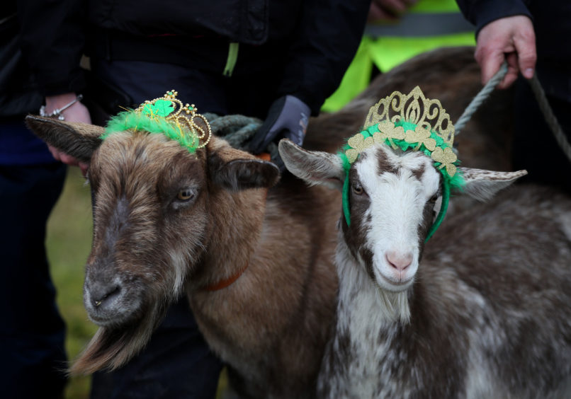 Goats are crowned on Spink Hill, Co. Offaly, during the 'Milking of the Goat' festival. The festival celebrates Imbolc which marks the beginning of spring and is one of the four Celtic seasonal festivals.