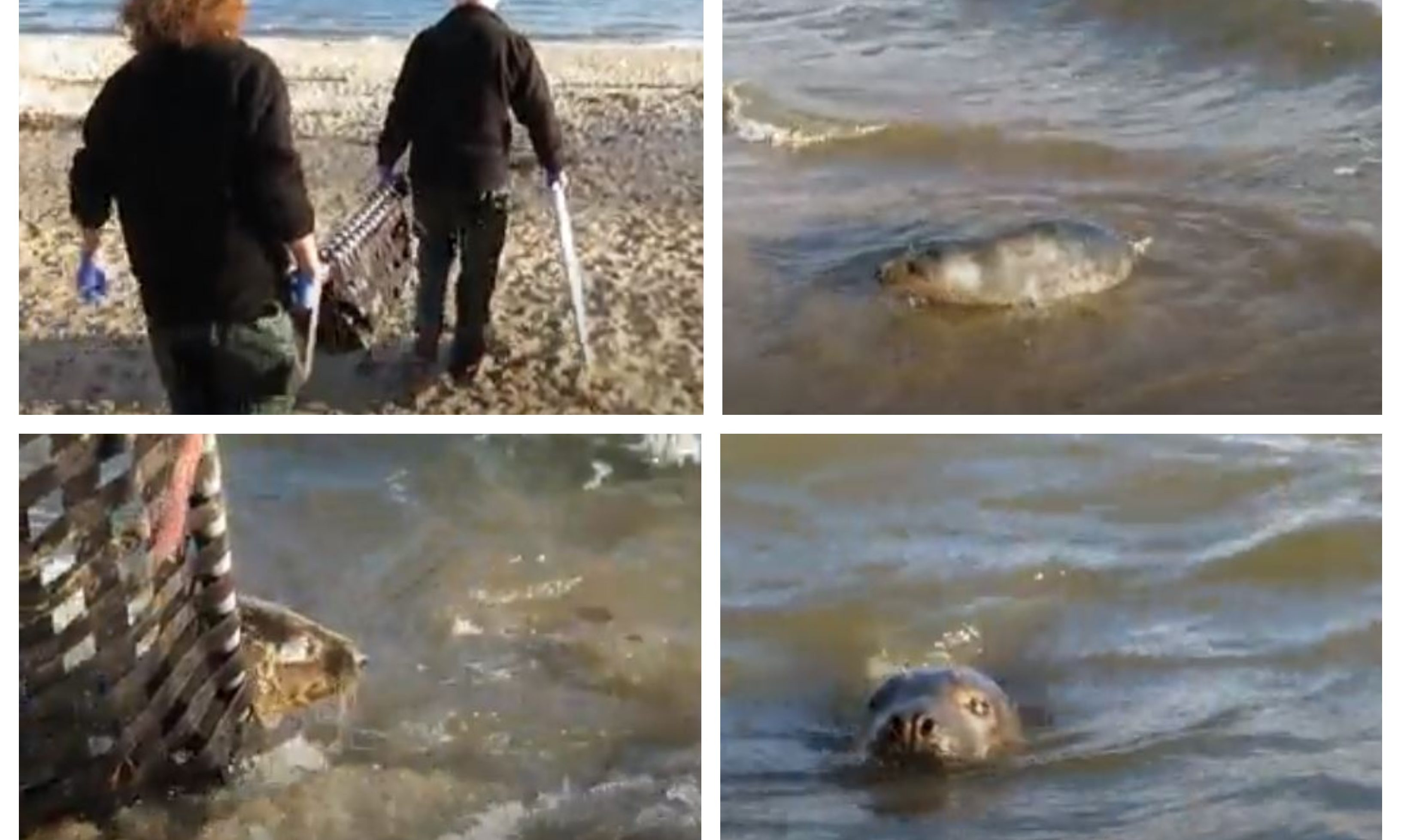 The Scottish SPCA, released the seals at Aberdour's Silver Sands beach.