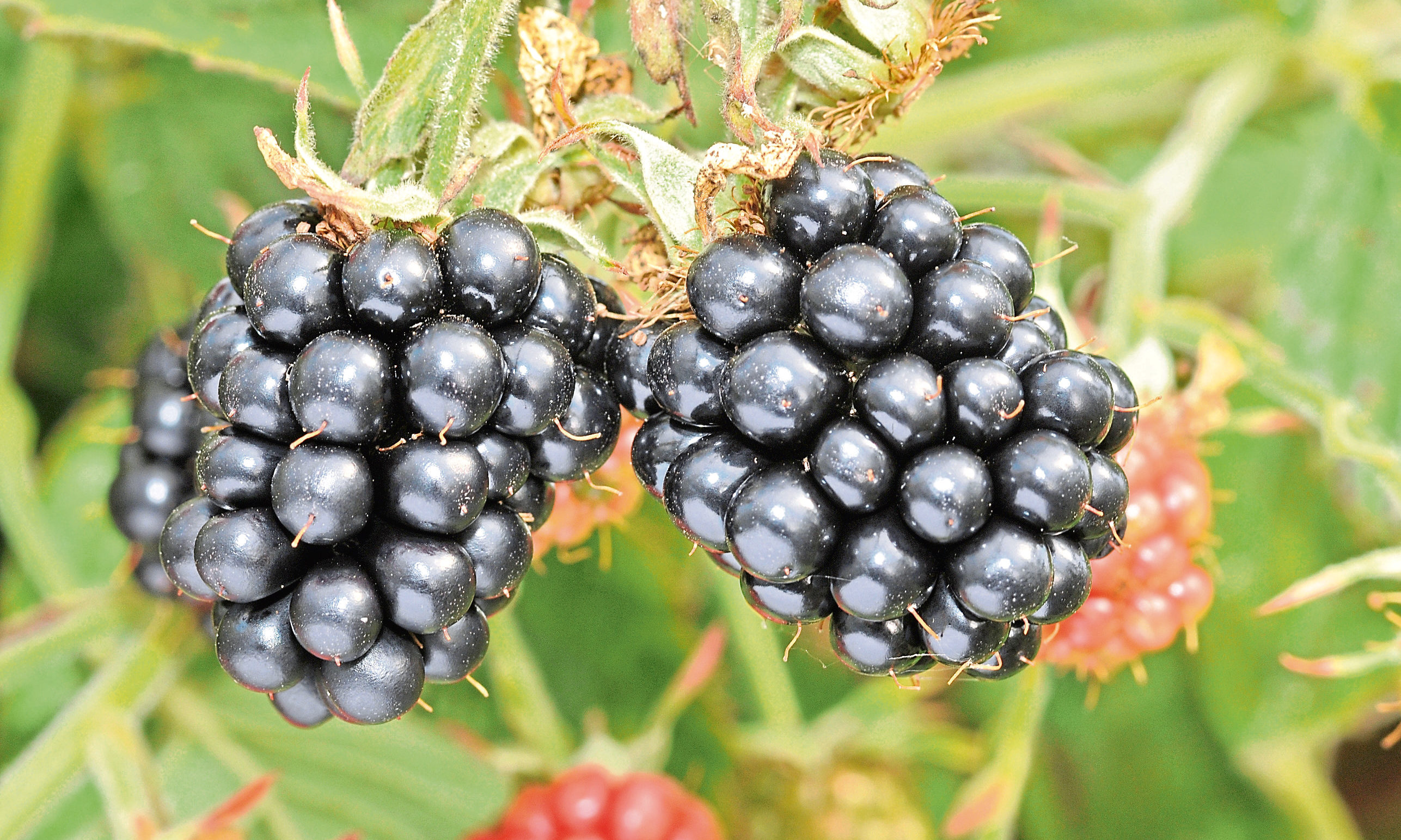 A picture of Blackberries from the James Hutton Institute.