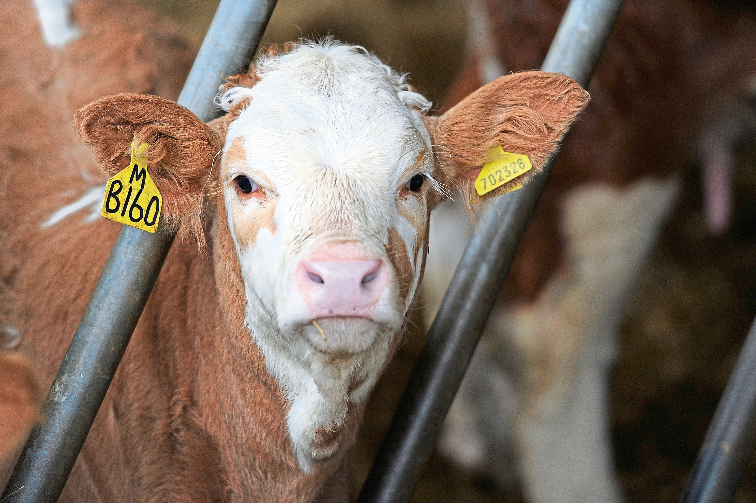 Prime beef production is likely to decline as 2019 progresses, says a recent survey.
