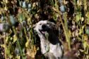 A guard dog at the illegal poppy field.