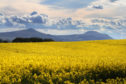 The farming industry regards glyphosate as a vital tool in oilseed rape production.