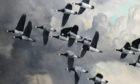 A detail from Sir Peter Markham Scott Barnacle's Geese Against a Stormy Sky