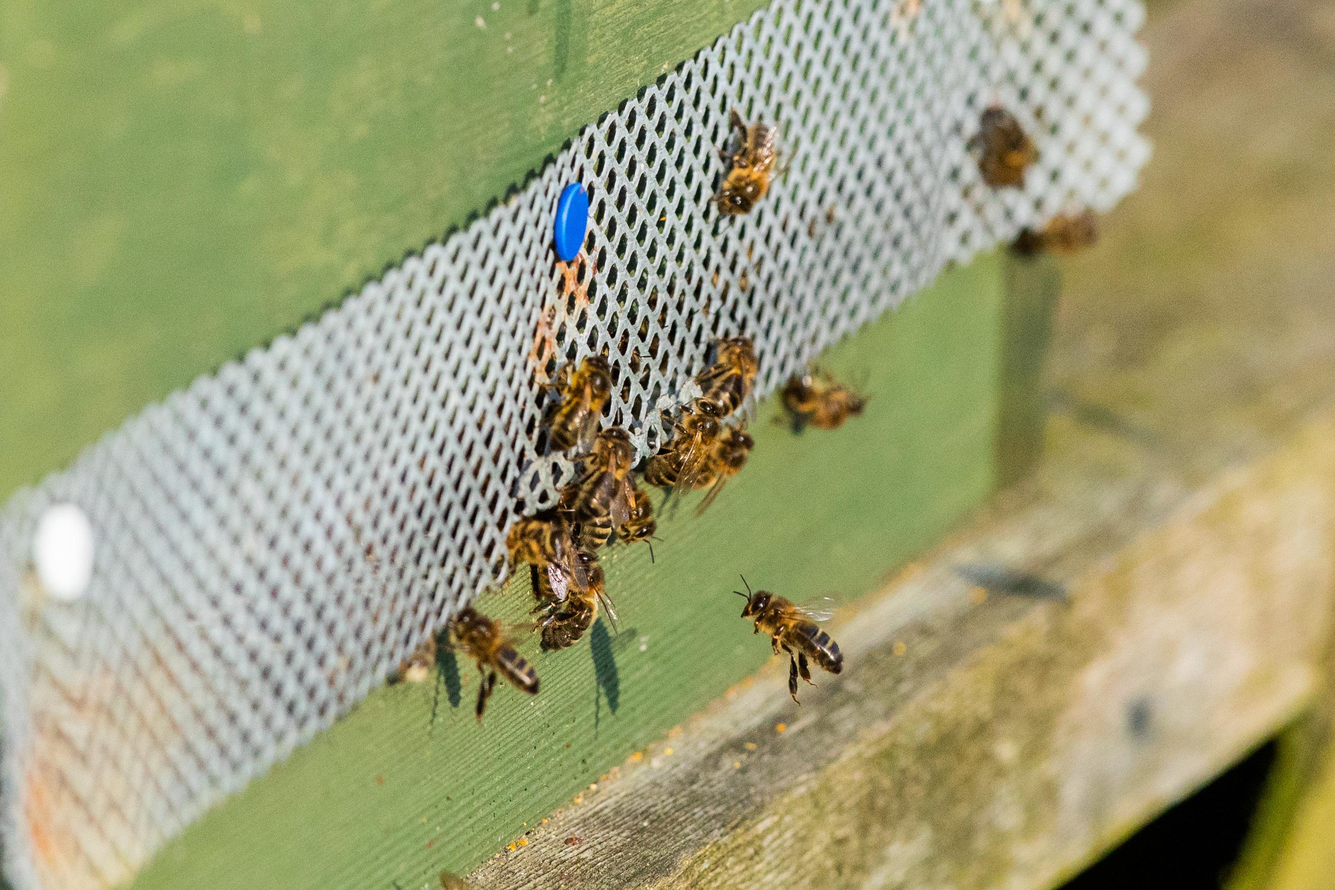 Bees belonging to Enid Brown of Fife Beekeepers Association.