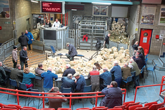 Prime lambs in the sale ring