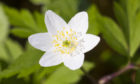 White spring forest flower Anemone nemorosa or wood anemone.