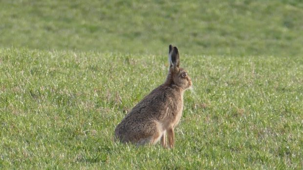 A brown hare.