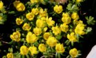 Drift of Aconites