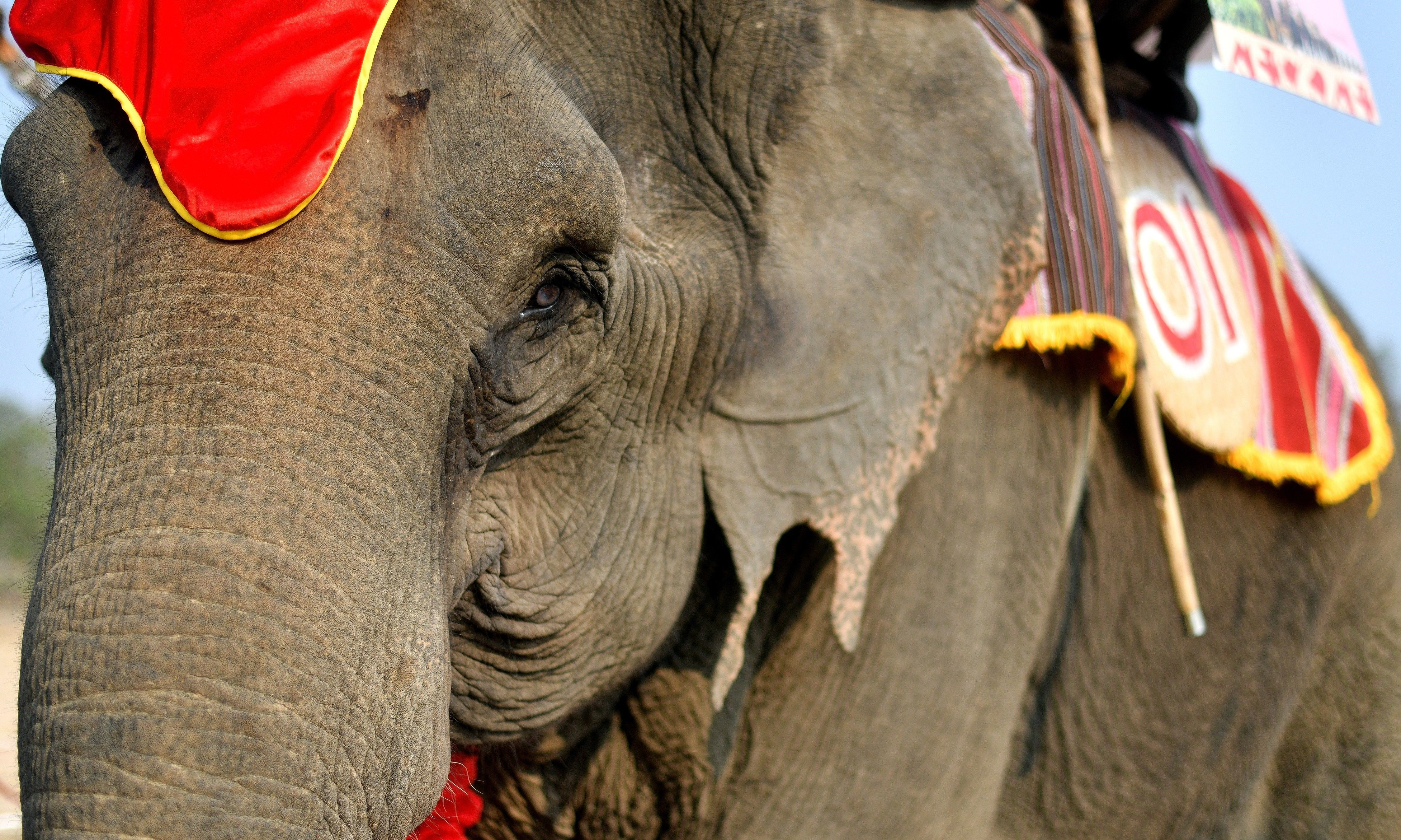 Thirty-five year old elephant named Kham On, arrives to take part in the race .