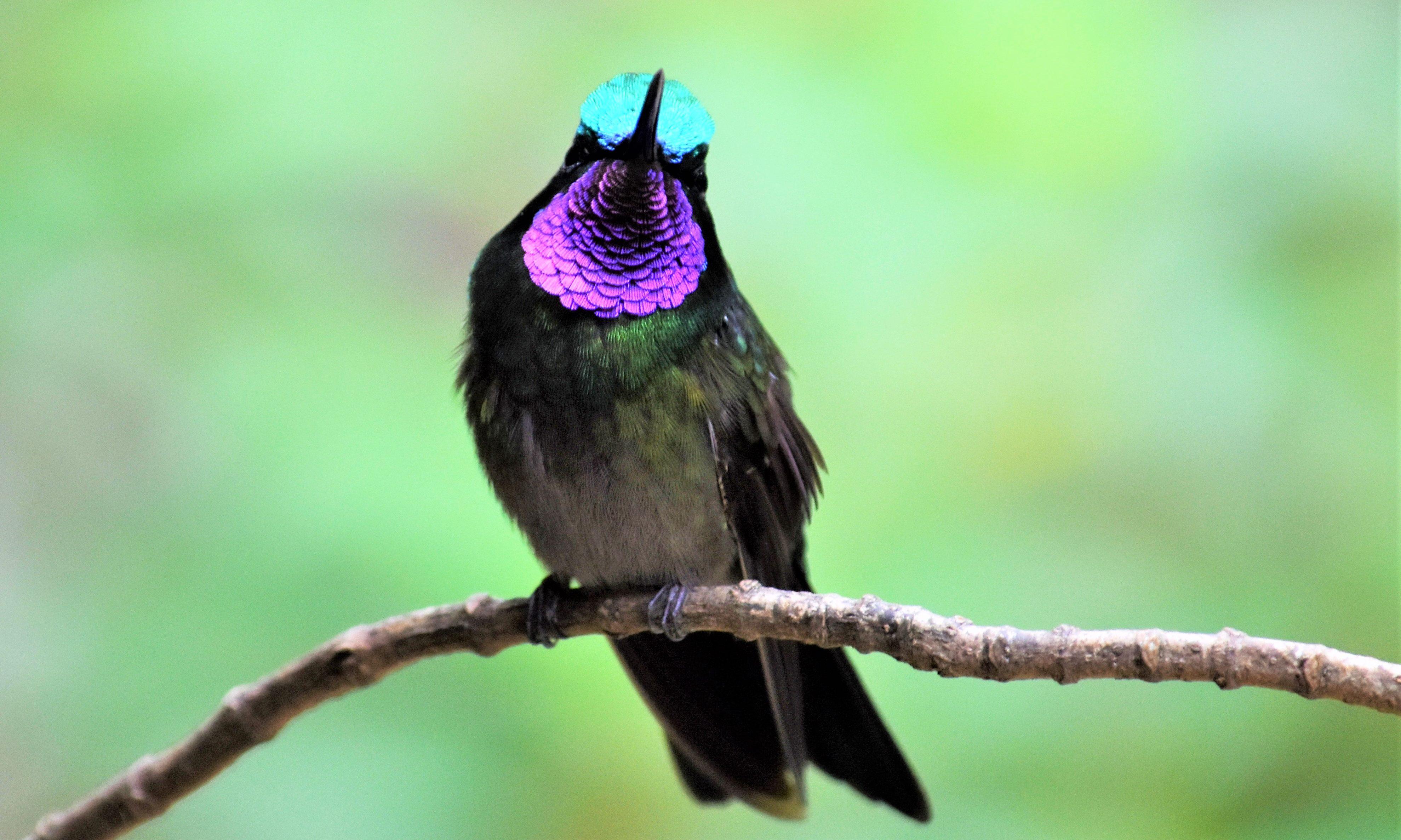 A purple-throated mountain gem.