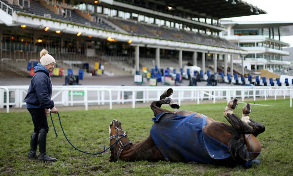 Racehorse Anibale Fly enjoys a roll on the ground during St Patrick's Thursday of the 2019 Cheltenham Festival at Cheltenham Racecourse.