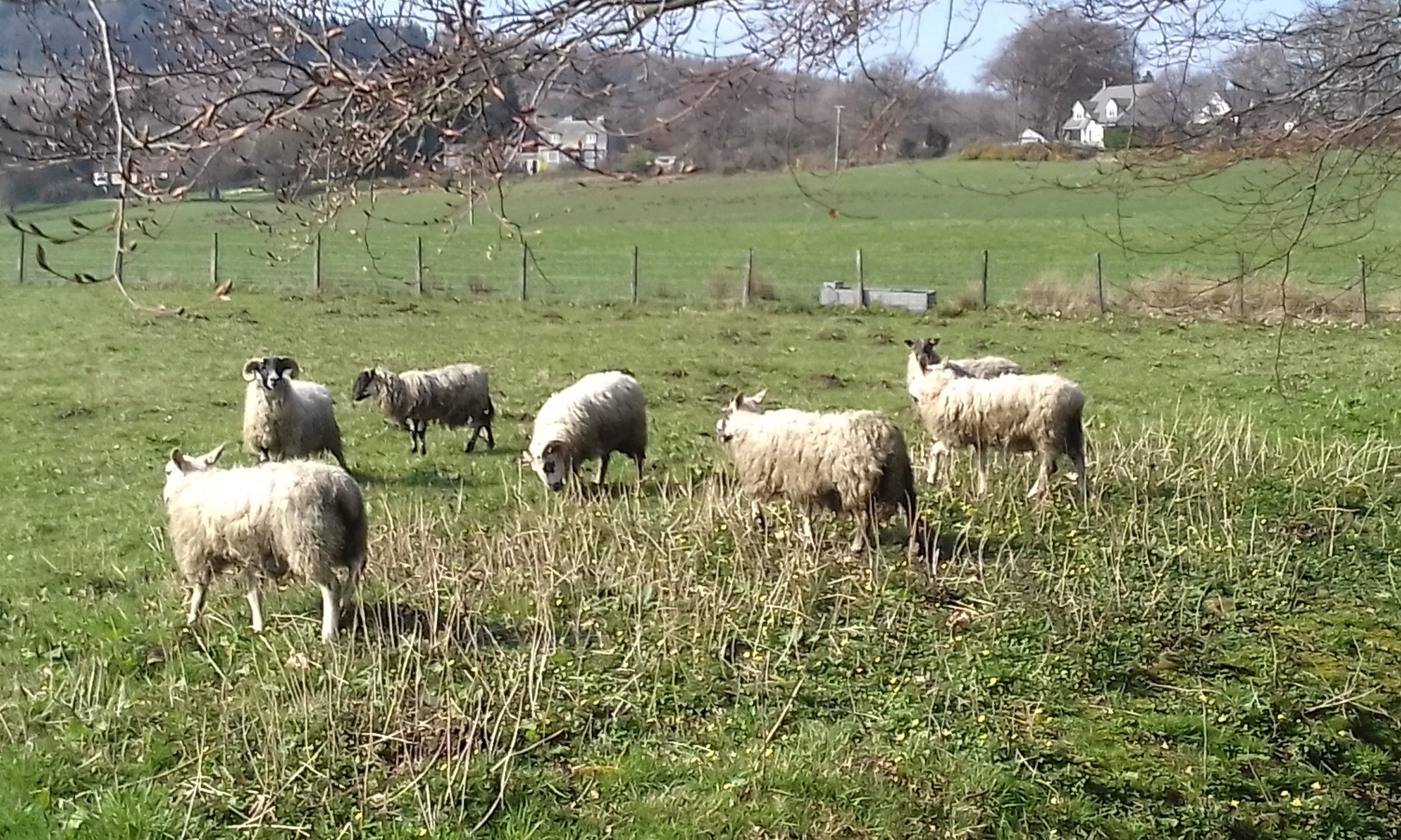 The lost flock spotted at Rumbling Bridge, Kinross-shire
