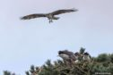The Angus ospreys found geese getting in the way of a happy Balgavies homecoming