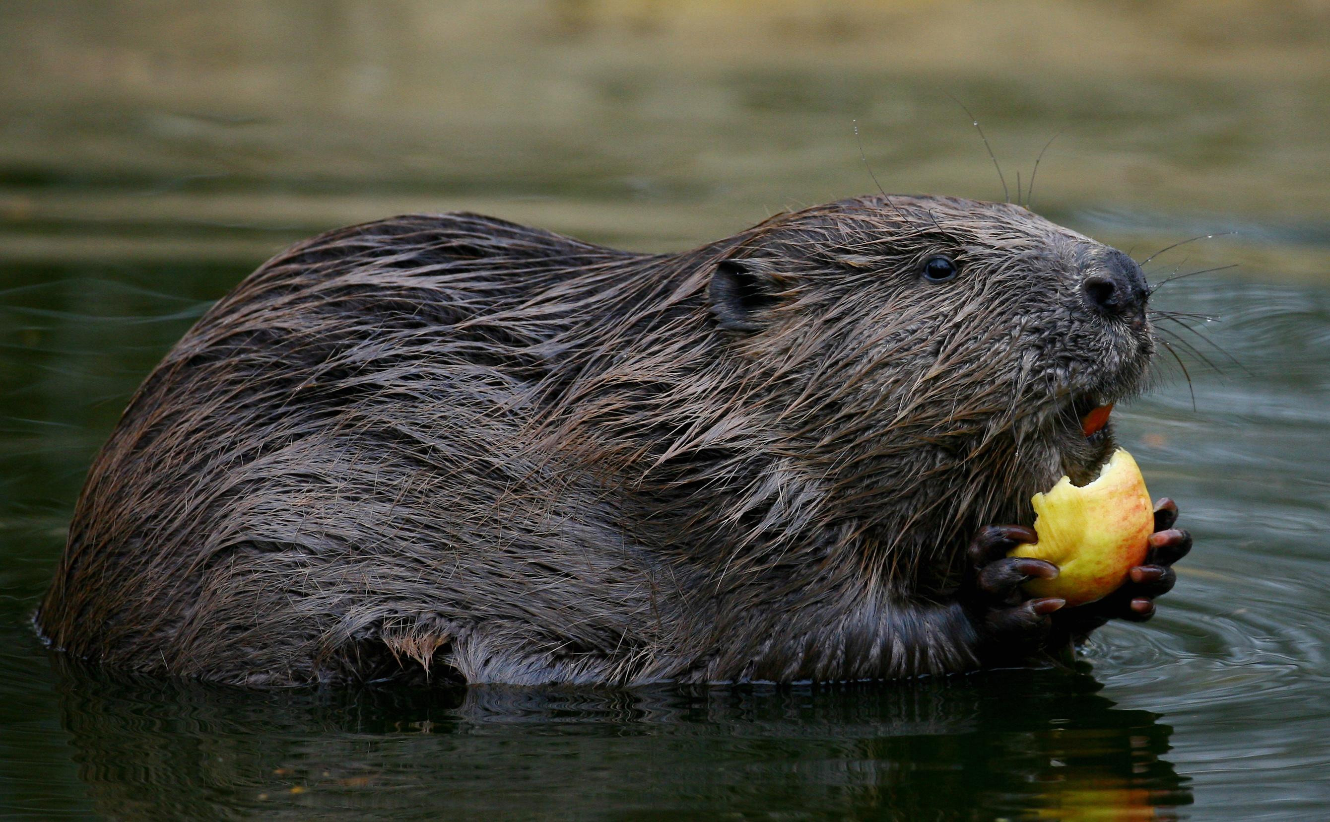 From next month, beavers will be a protected species in Scotland.