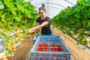 Romanian Catarina Andreesou picking the first strawberries of the season at Barnsmuir in Fife.
