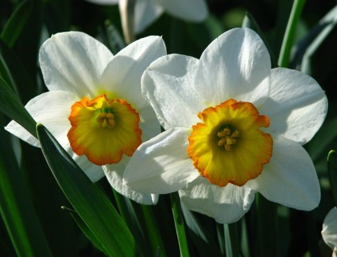 Narcissus Flower Record