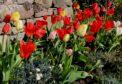 Tulip Red Emperor