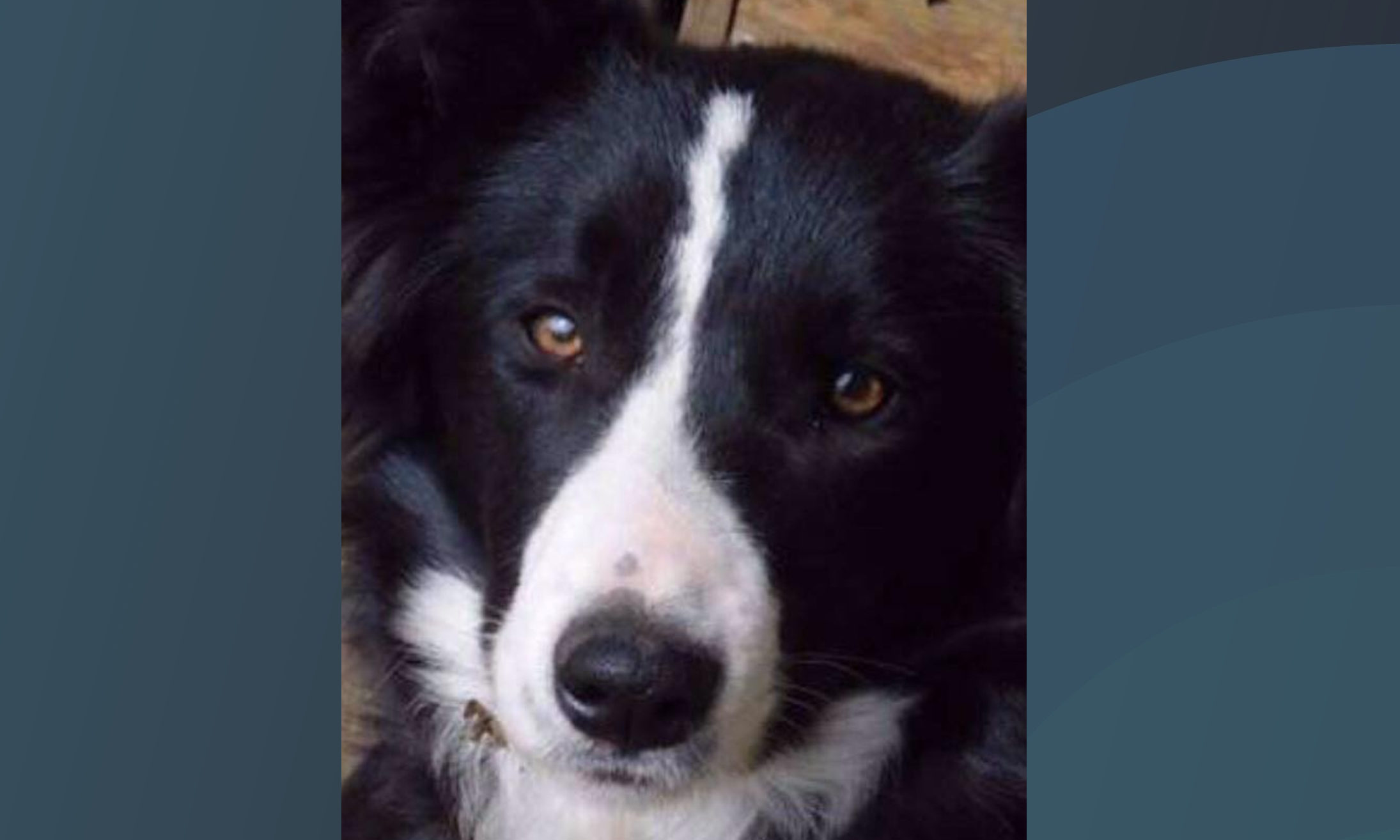 Gale the collie.