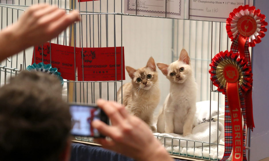 Tortie shaded Burmese kittens are photographed at the Nor' East of Scotland Cat Club and the Siamese Cat Society of Scotland championship show held at the Caird Hall in Dundee.