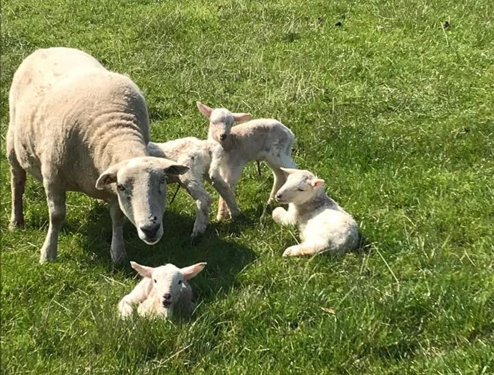 The ewe, which has since had to be put to sleep, with her four lambs after they were born in April.
