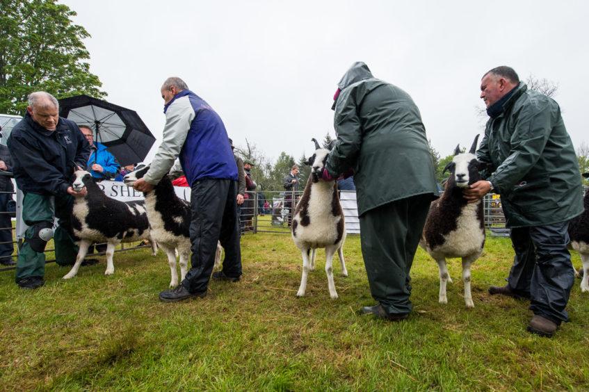 Sheep judging