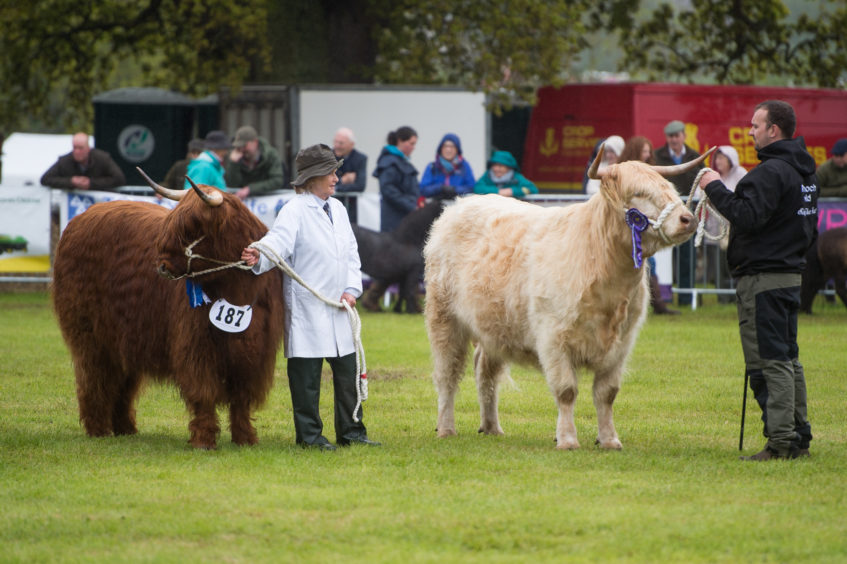 Highland cattle during the grand livestock parade