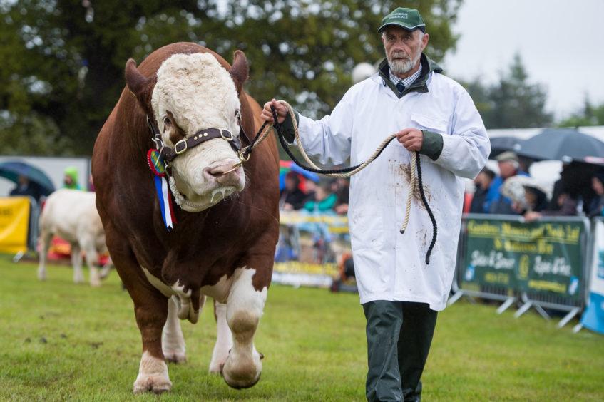 Semintal champion during the grand livestock parade