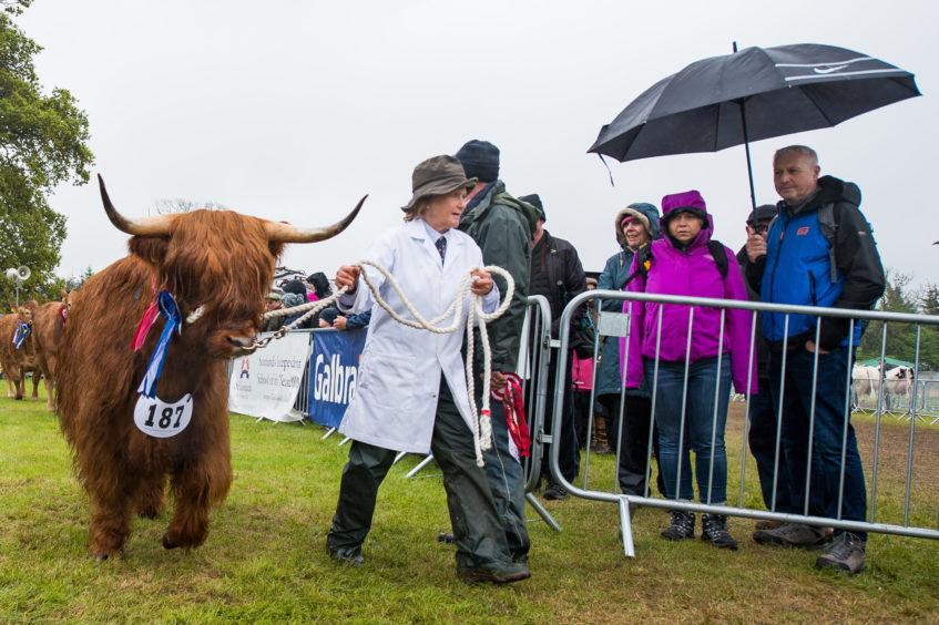Highland cow during the grand livestock parade
