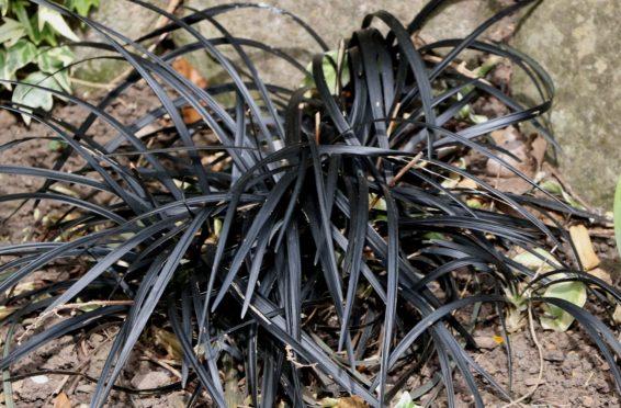 Ophiopogon black grass
