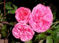 Shrub rose Gertrude Jekyll for cut flower.