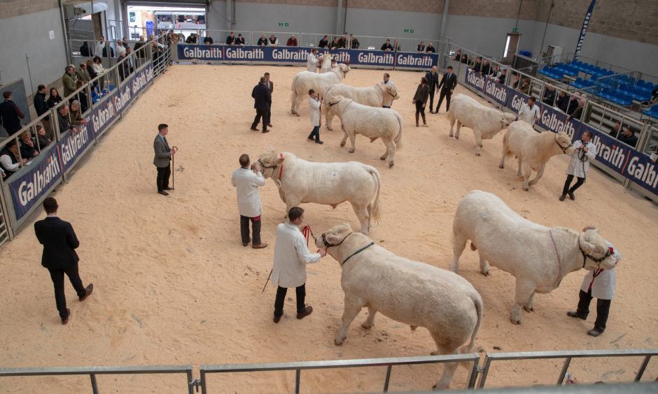Charolais Bulls on show during day one of the Stirling Bull sales.
