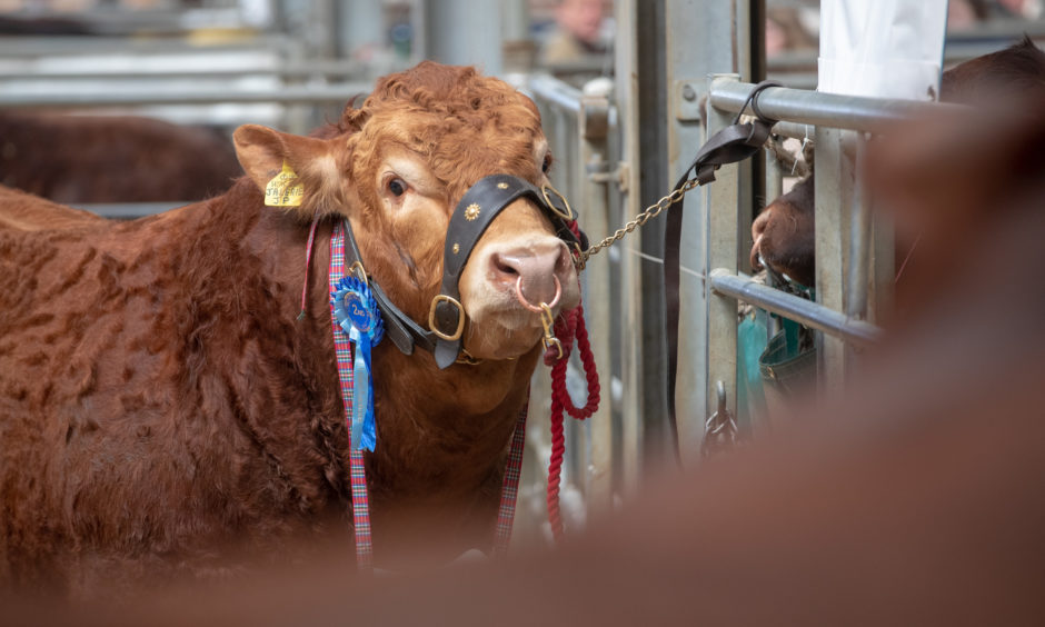 Bulls await sale at the Stirling Bull sales.