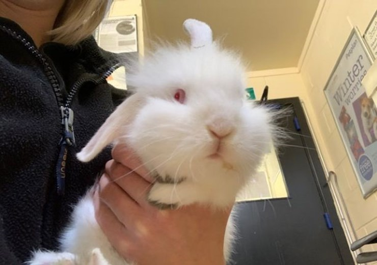 """Twinkle, a ten-week-old """"sweet-natured"""" female, is one of the rabbits awaiting adoption."""