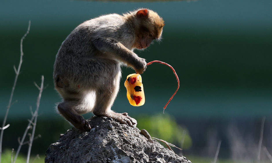 A macaque investigates what's on offer.