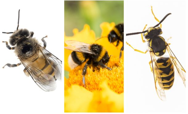 L-R: A honey bee, a bumble bee and a wasp.