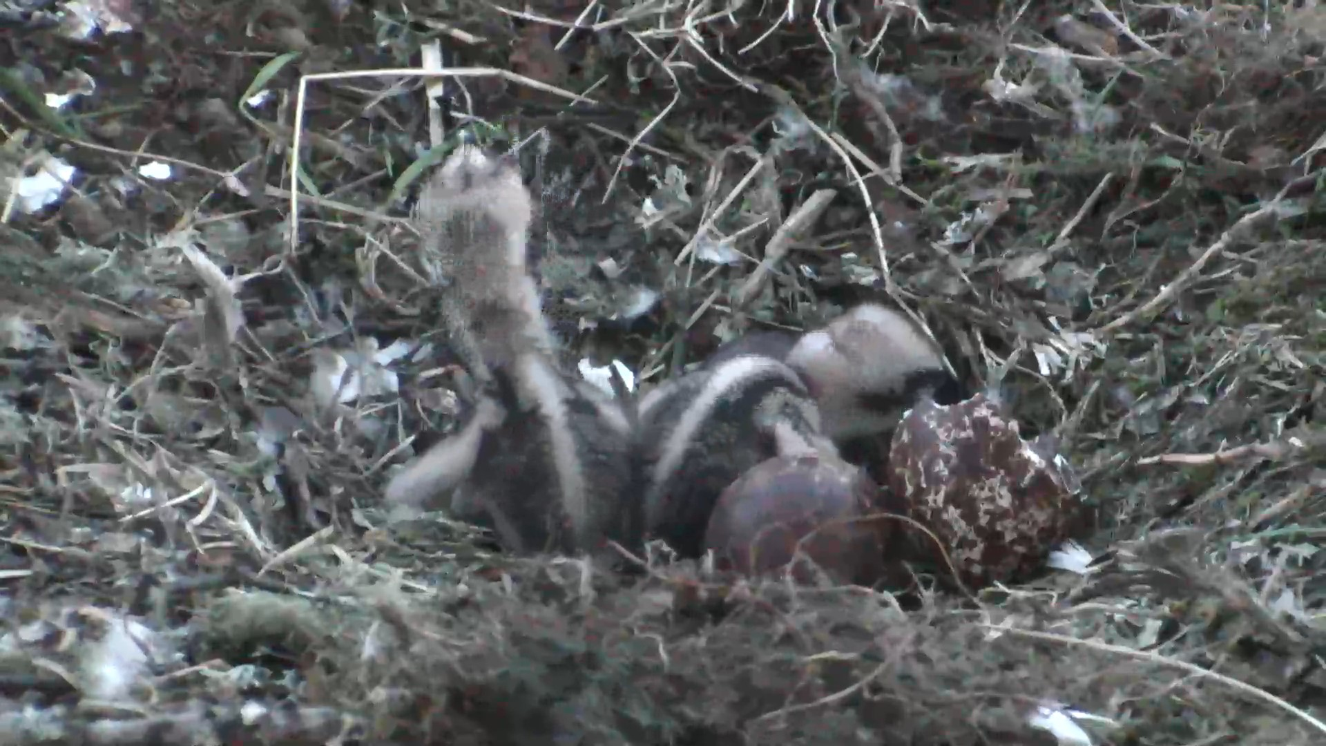 The second chick has hatched near Dunkeld.